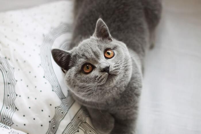 jak wygląda kot brytyjski