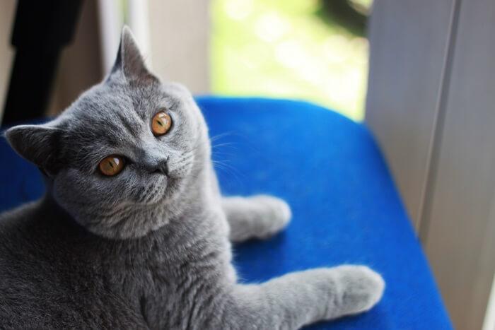 ładny kot brytyjski
