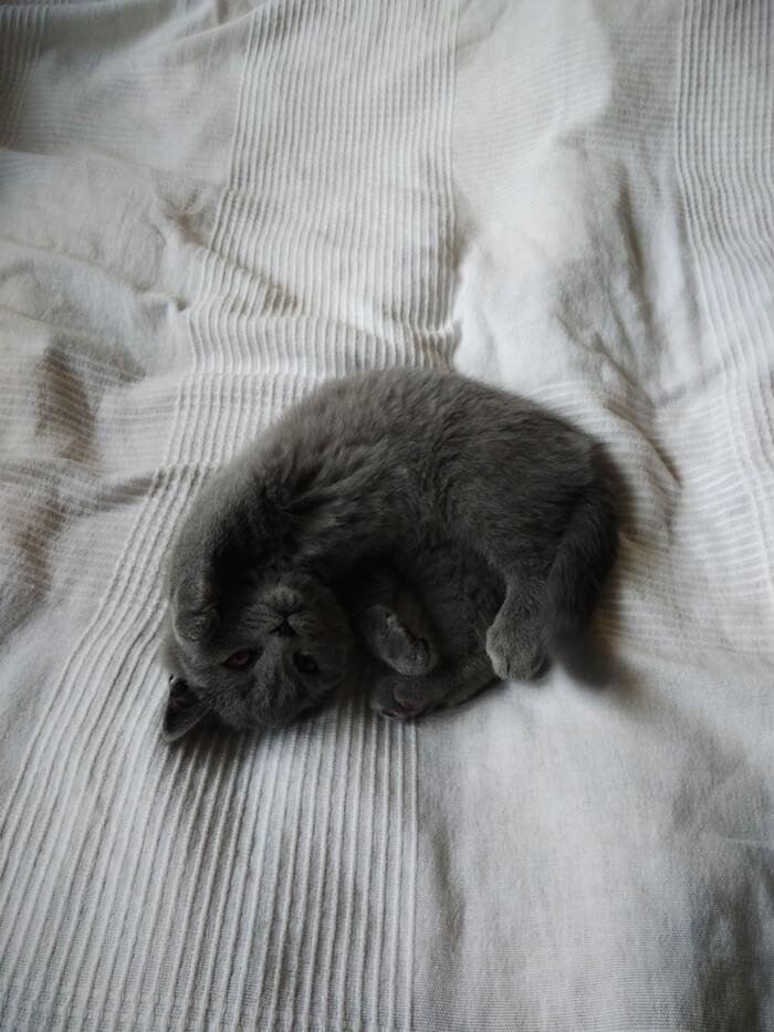 3 miesieczny kot brytyjski